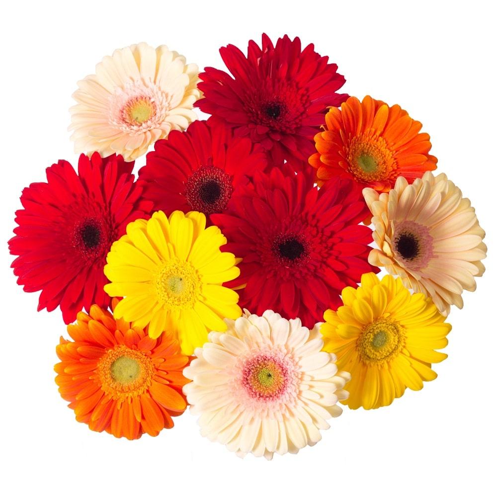 Герберы разноцветные