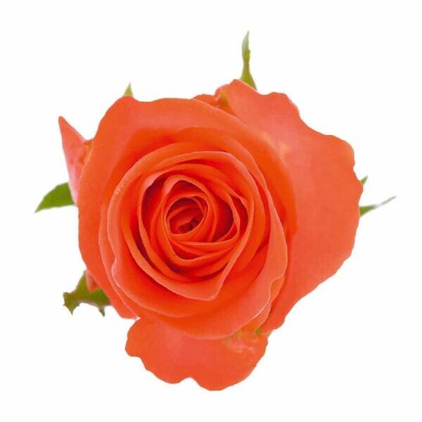 оранжевые розы wow