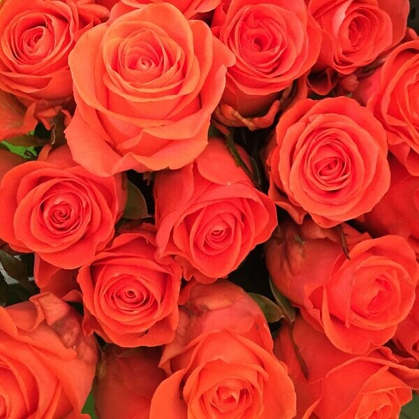розы вау