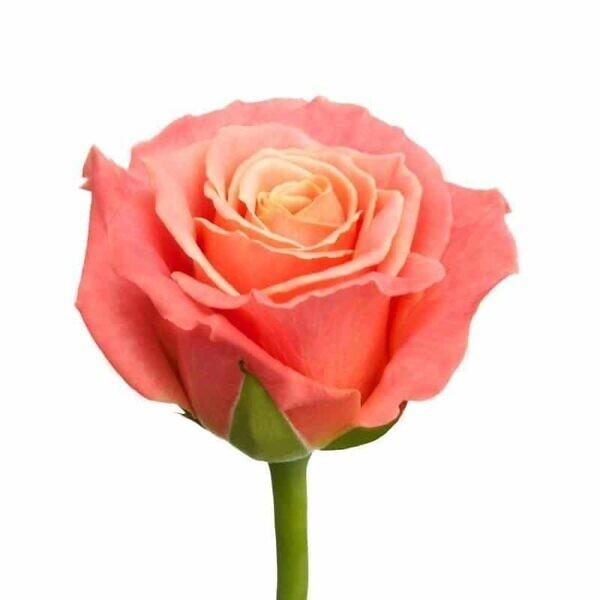 розовая роза мисс пигги