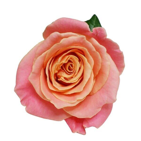 розовая роза мисс пигги сверху