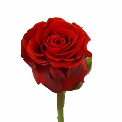 красная роза эль торо