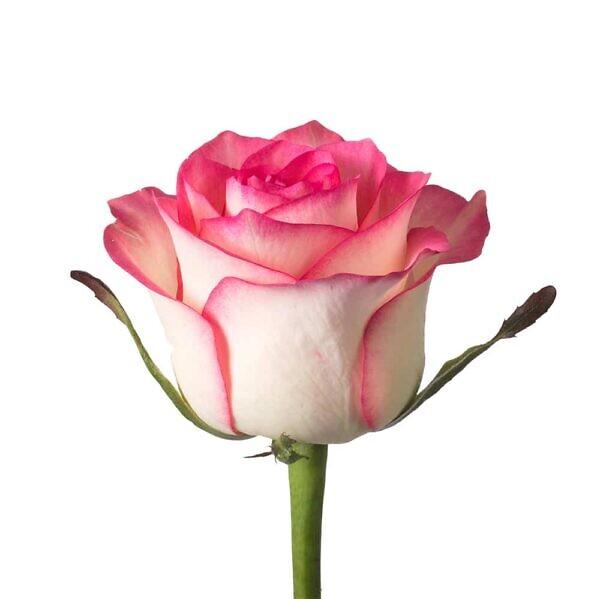 Розовая роза Джамиля