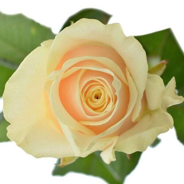 кремовая роза талея