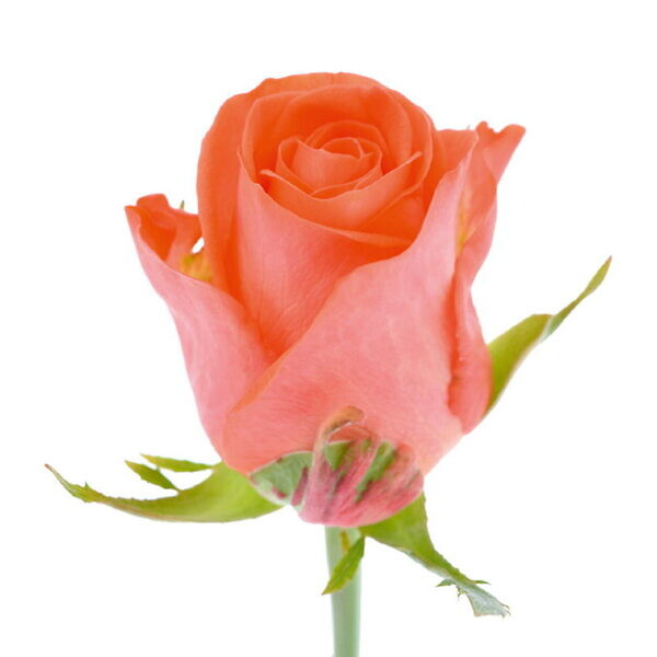оранжевая роза wow